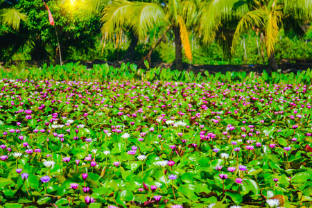 Colorful of water lily or lotus flower blooming on the water in garden,Thailand. Selective and soft focus with blurred background. Stock Photo
