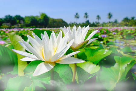 lotus effect: This beautiful white water lily or lotus flower blooming on the water with fog effect in garden,Thailand. Selective and soft focus with blurred background.