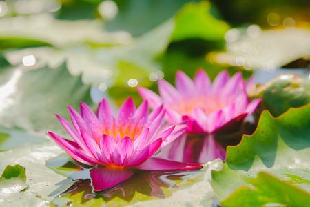 この美しいピンクのスイレンやタイの庭で水に咲く蓮の花。背景をぼかした写真を選択し、ソフト フォーカス。