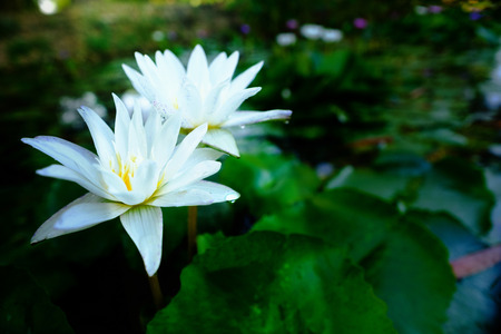 This beautiful white water lily or lotus flower blooming on the water in garden,Thailand. Selective and soft focus with blurred background. Stock Photo