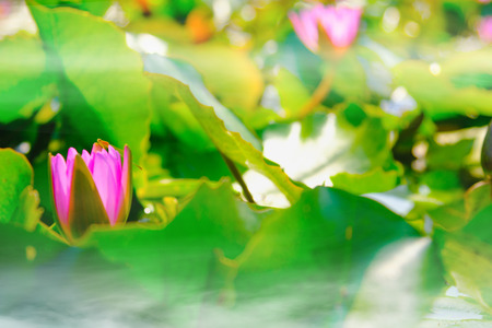 Lotus flower blooming on the water with dragonfly in garden,Thailand. Selective and soft focus with blurred background.