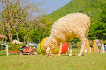 agri: Sheep in nature on  FARM outdoor, Spring Lambs Stock Photo
