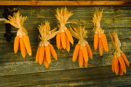 Corn cobs hanging to dry in a cabin wall. Stock Photo