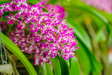 phalaenopsis: Selective focus. Beautiful Pink Orchids in Orchids garden.