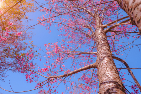 Selective focus Branch of Himalayan Cherry Blossom , also call sakura pink color with blue sky background in winter at highlands of Phetchabun District, Thailand.