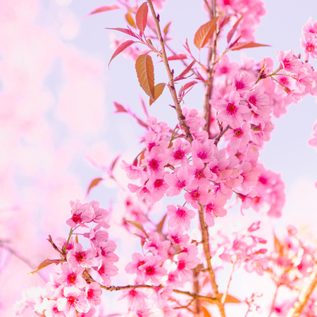 Selective focus Branch of Himalayan Cherry Blossom , also call sakura pink color with Natural blur background at highlands in winter at highlands of Phetchabun District, Thailand.