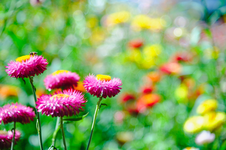 straw flower or everlasting or paper daisy flower in garden with Natural blur background