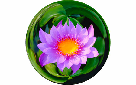 Isolate image on top view beautiful purple water lily or purple lotus flower blooming in glass ball effect. on top view beautiful purple water lily or purple lotus flower blooming in glass ball effect.