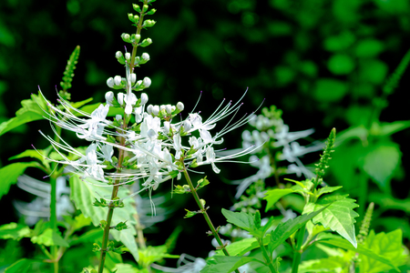 Selective focus image on Herb flower, Java tea, Kidney Tea Plant, Cat's Whiskers tree (Orthosiphon aristatus) is medicinal herb use for diuretic and cure about kidney disease