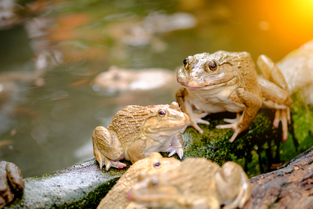 Closeup image of Thai frog in pond.