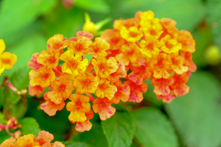 Closeup and selective focus image on beautiful lantanas flower in the garden with green leaf is part background.