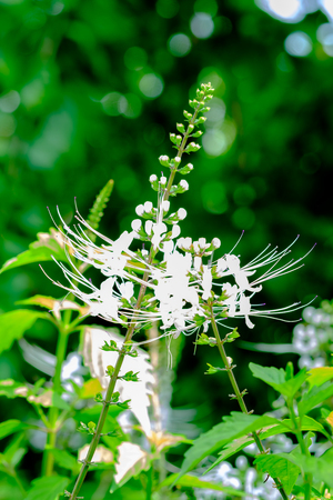 Selective focus image on Herb flower, Java tea, Kidney Tea Plant, Cats Whiskers tree (Orthosiphon aristatus) is medicinal herb use for diuretic and cure about kidney disease Stock Photo