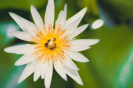 Top view , buddhist concept of white lotus with little bee on the surface water.