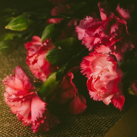 美しい明るいピンク カーネーションの花びら暗い背景に。Vintge 画像のスタイル。