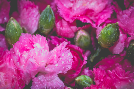 Beautiful bright pink carnation with water drops on petals.