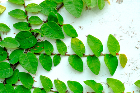 Green Leaves On The Old wall background.