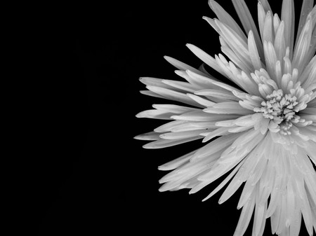 Chrysanthemum on black background, black and white color. Copy space texture background. Stock Photo