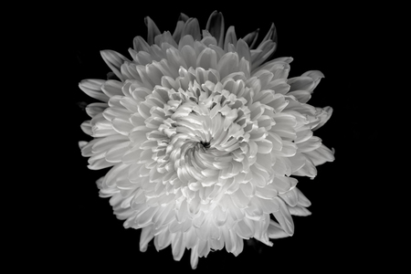Chrysanthemum on black background, black and white color. Stock Photo