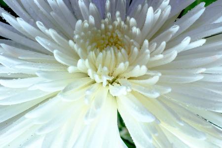 Close up on a white chrysanthemum. Stock Photo