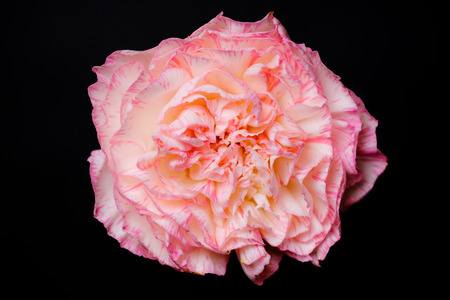 Top view and close up image on pink carnation on black background.