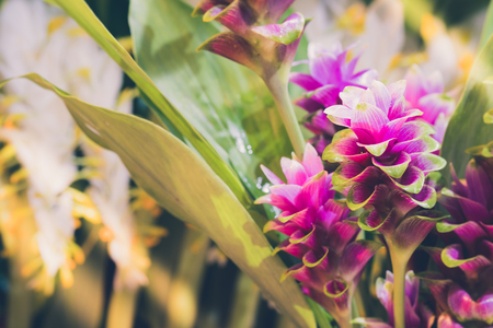 clos-up pink flower of Pink Siam Tulip or Curcuma sessilis flower It is a flower with a beautiful pink color to blossom when it enters the rainy season in Thaialnd. Stock Photo