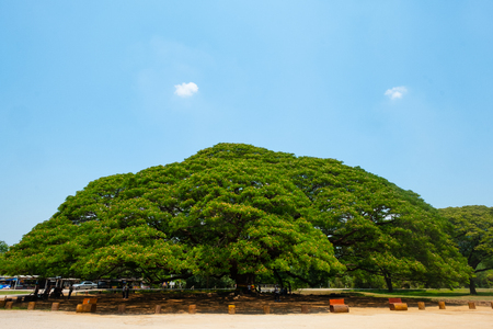 Giant Samanea saman tree with branch in Kanchanaburi, Thailand. 스톡 콘텐츠