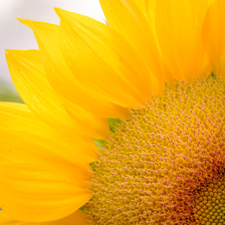 Macro view of part of sunflower in bloom. Organic and natural flower background.