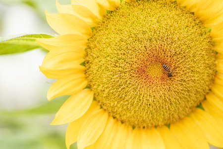 Close up view on Golden sunflowers natural background with small bee in farm. Sunflower oil improves skin health and promote cell regeneration. Stock Photo
