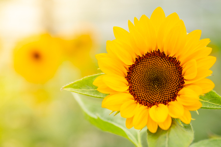 Selective focus of Golden sunflowers natural background. Sunflower oil improves skin health and promote cell regeneration.