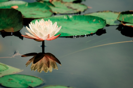 Beautiful lotus flower or water lily on the water after rain in garden with reflection on surface water . Lotus is the traditions of Hinduism and Buddhism.