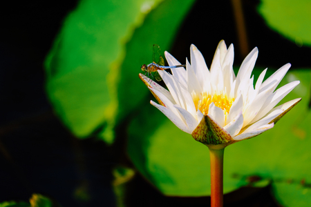 white lotus or water lily closeup with blue dragonfly on the water after rain in garden. Standard-Bild