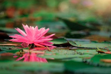 Beautiful lotus flower or water lily on the water after rain in garden with reflection on surface water . Pink lotus is the traditions of Hinduism and Buddhism. Standard-Bild