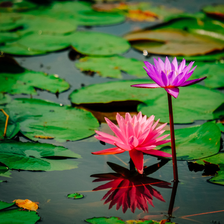 Beautiful lotus flower or water lily on the water after rain in garden with reflection on surface water . Pink lotus is the traditions of Hinduism and Buddhism. Stock Photo