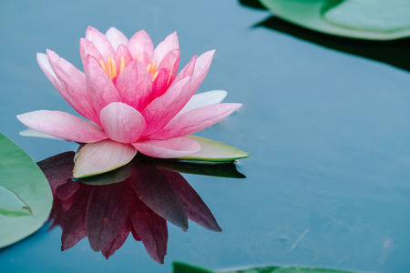 Beautiful lotus flower or water lily on the water after rain in garden with reflection on surface water . Pink lotus is the traditions of Hinduism and Buddhism. 写真素材