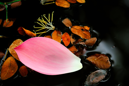 Selective focus on image of pink lotus petal on surface water in the forest. 写真素材