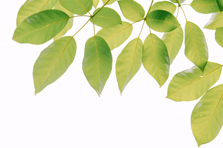 Real green leaf on the tree with white background with pattern and wallpaper style for spring summer concept.