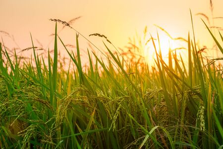 Close up view of yellow-green rice field with soft sunrise light, view of paddy plant in the field, rice plant in the rice field, Fields of ripening rice growing in Thailand. Standard-Bild