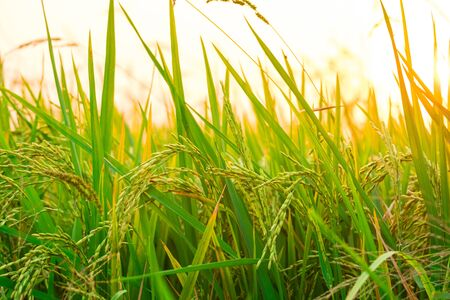 Close up view of yellow-green rice field with soft sunrise light, view of paddy plant in the field, rice plant in the rice field, Fields of ripening rice growing in Thailand. Reklamní fotografie