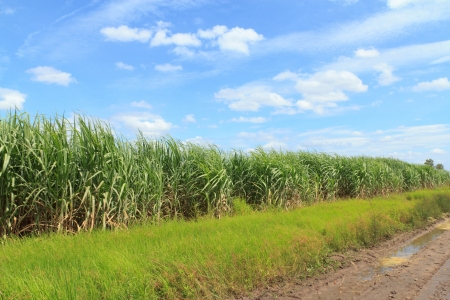 Sugarcane, Sugarcane farm photo