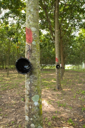rubber sheet: Rubber trees Stock Photo
