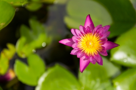 Pink lotus flower photo
