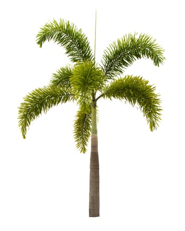Palm isolated on white background photo