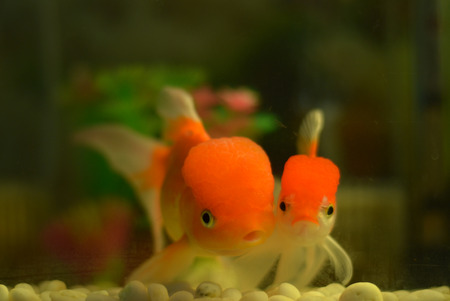 The couple of goldfish very cute pet