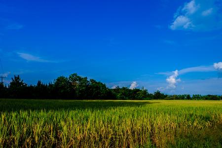 changing color: Las tierras agr�colas y el arroz est�n cambiando de color en un d�a claro al final de la temporada de lluvias.