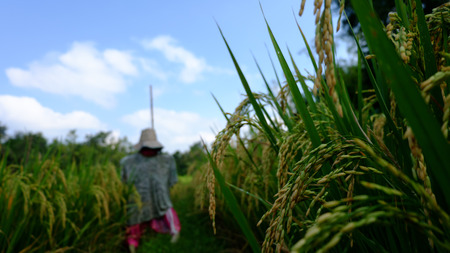 autumn scarecrow: Rice and blurred background of the Scarecrow and the sky. Stock Photo