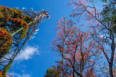 telecommunications: telecommunications tower and cherry blossom with blue sky. Chiang mai Thailand.