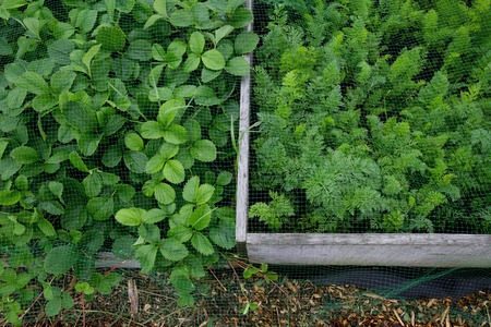 Raised beds protected by mesh on a allotment