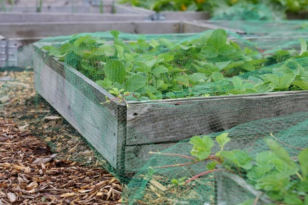 Vegetable raised beds on an Allotment in north england