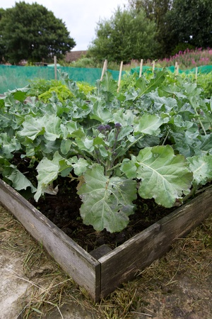 Raised vegetable beds growing cabbage on an allotment Stok Fotoğraf