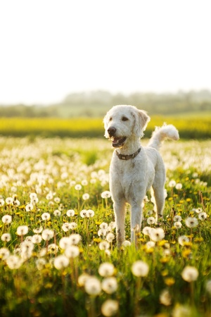 Dog looking around in a open field with scattered dandelions,